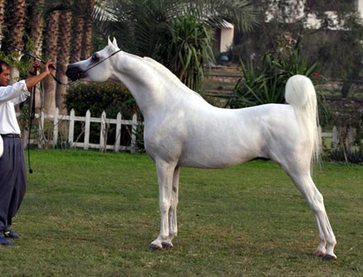 اروع واجمل الخيول في صور attachment.php?attac